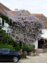 Wisteria sinensis   Chinese wisteria plant