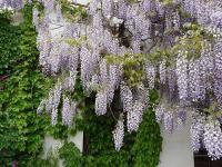 Wisteria sinensis   Chinese wisteria flowers