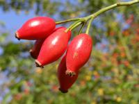 Rosa canina   dog rose fruits