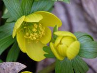 Eranthis hyemalis   Winter Aconite flowers