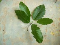 Sorbus mougeotii   Vosges whitebeam leaves front face