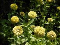 Youth-and-age Zinnia elegans  'Giant Lime'
