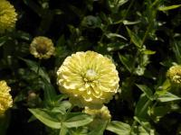 Zinnia elegans   'Giant Lime'  Youth-and-age plant