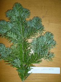 Abies lasiocarpa   subalpine fir needle