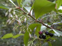 Shoebutton - flowers and fruits (Ardisia elliptica)