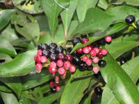 (Ardisia elliptica) Shoebutton - fruits