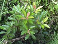 Shoebutton - habit (Ardisia elliptica)