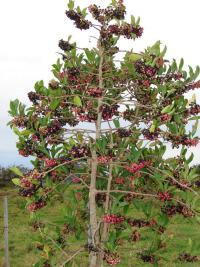 (Ardisia elliptica) Shoebutton - fruiting habit