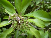 (Ardisia elliptica) Shoebutton - habit