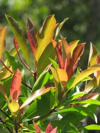 (Ardisia elliptica) Shoebutton - leaves