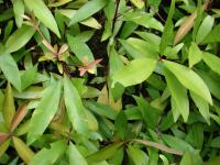 Shoebutton - leaves (Ardisia elliptica)