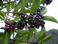 Shoebutton - leaves and fruits (Ardisia elliptica)