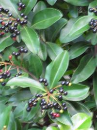 (Ardisia escallonioides) Marlberry - fruit