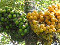 (Areca catechu) Betel palm - fruit