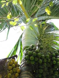 (Areca catechu) Betel palm - fruit and sheath
