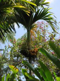 (Areca catechu) Betel palm - habit