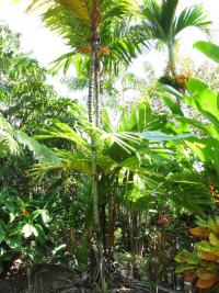 (Areca vestiaria) Orange crownshaft palm - habit