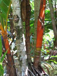 (Areca vestiaria) Orange crownshaft palm - trunk