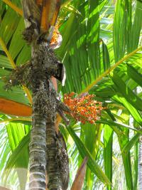 Orange crownshaft palm - trunk, fruit and leaves