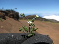 (Arenaria serpyllifolia) Thymeleaf sandwort - flower and leaves