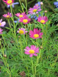 Paris daisy - flowers (Argyranthemum frutescens)