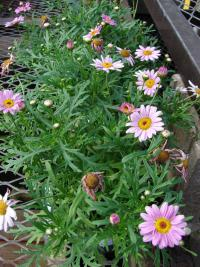 (Argyranthemum frutescens) Paris daisy - Molimba Pink flowers and leaves