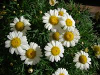 (Argyranthemum frutescens) Paris daisy - White Imperial flowering habit