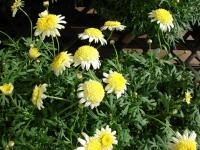 (Argyranthemum frutescens) Paris daisy - Courtyard Butter Cream flowering habit