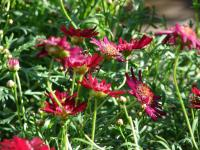 (Argyranthemum frutescens) Paris daisy - Crested Merlot flowering habit