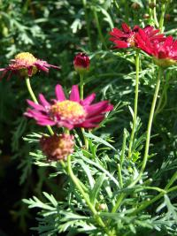 Paris daisy - Crested Merlot flowers and leaves (Argyranthemum frutescens)