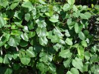 Elephant Creeper - leaves