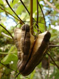 (Aristolochia littoralis) Calico flower - dehisced fruit