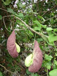 (Aristolochia littoralis) Calico flower - flowers and leaves