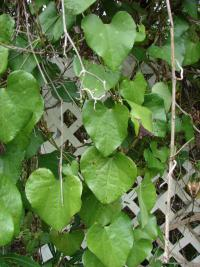 (Aristolochia littoralis) Calico flower - leaves