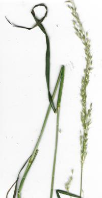 (Grass - Arrhenatherum elatius) False Oat