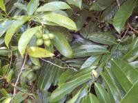 (Artabotrys hexapetalus) Climbing ylang-ylang - leaves and fruit