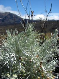 Maui Wormwood - flowers and leaves (Artemisia mauiensis)