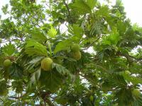 (Artocarpus altilis) Breadfruit Tree - fruit and leaves