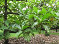 Breadfruit Tree - leaves
