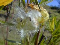 Balloon plant - seeds and pappus (Asclepias physocarpa)