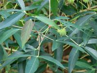 (Manihot esculenta) Cassava - leaves and fruit