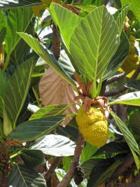 (Artocarpus nitidus subsp lingnanensis) Gui mu - fruit and leaves