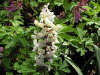 Corydalis cava   Hollowroot flowers