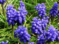Muscari botryoides   Compact Grape-hyacinth flowers