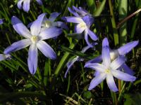Scilla luciliae   Boissier's Glory-of-the-snow flowers