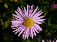 Aster dumosus    'Rozika'  Rice Button Aster flowers