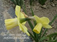 Narcissus  'American Classic'  Daffodil flowers