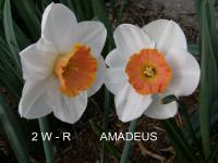 Narcissus  'Amadeus' - Daffodil