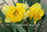 Narcissus  'Apache Blanket' - Daffodil