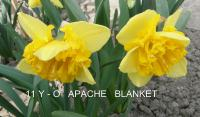 Narcissus  'Apache Blanket'  Daffodil flowers